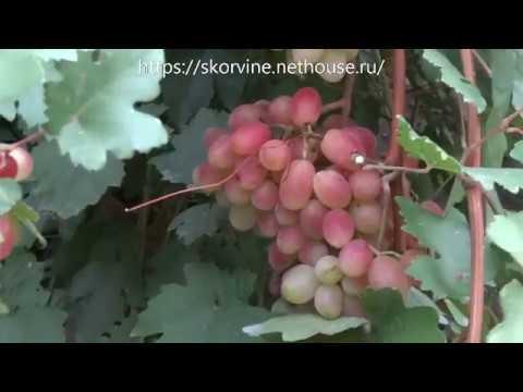 Сорта винограда 2018. Сенсация - как всегда красавица
