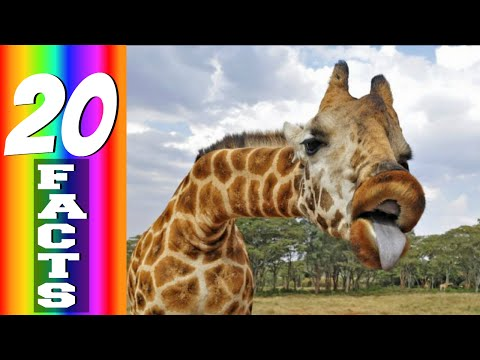 Giraffe Horns! (20 Facts #3)