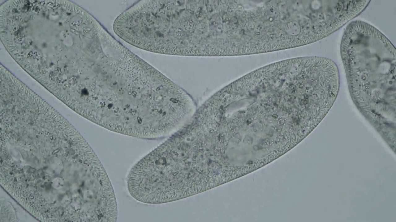 Paramecium caudatum - mit Motic BA310LED - YouTube