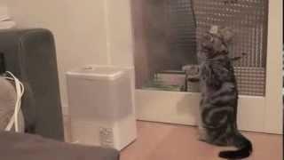 立って煙と戦う猫【加湿器 VS  猫】 thumbnail