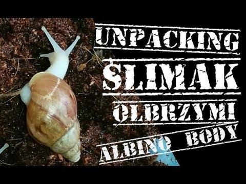 """Unpacking Ślimaków olbrzymich (Lissachatina fulica """"albino body"""")"""