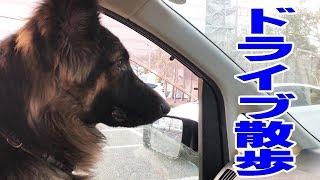 動画ブログ ジャーマンシェパード犬マック君 元気に散歩です、日産セレ...
