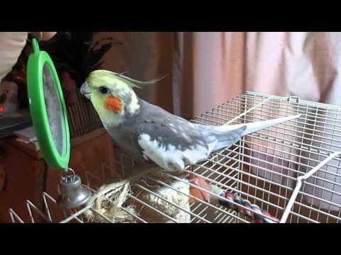 Bennie the cockatiel talking to his mirror