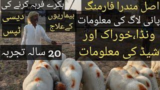 Mundra farming in Pakistan   How to start goat farming Sheep farming in Pakistan Farming Tips