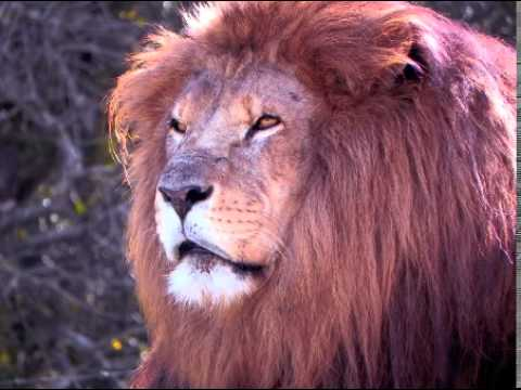 Lion Facts Facts About Lions Youtube