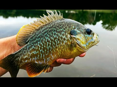 BEAUTIFUL Bluegill on the Flyrod! Fishing with ANT Flies!
