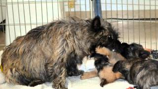 Cairn terrier Cato and her 7 puppies (Kennel Ahead of the Pack)