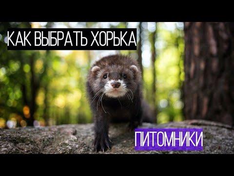 КАК выбрать ХОРЬКА/ ГДЕ КУПИТЬ хорька/ Фуриттус