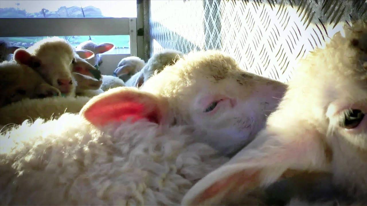 La breve vita degli agnelli   Un'investigazione di Animal Equality