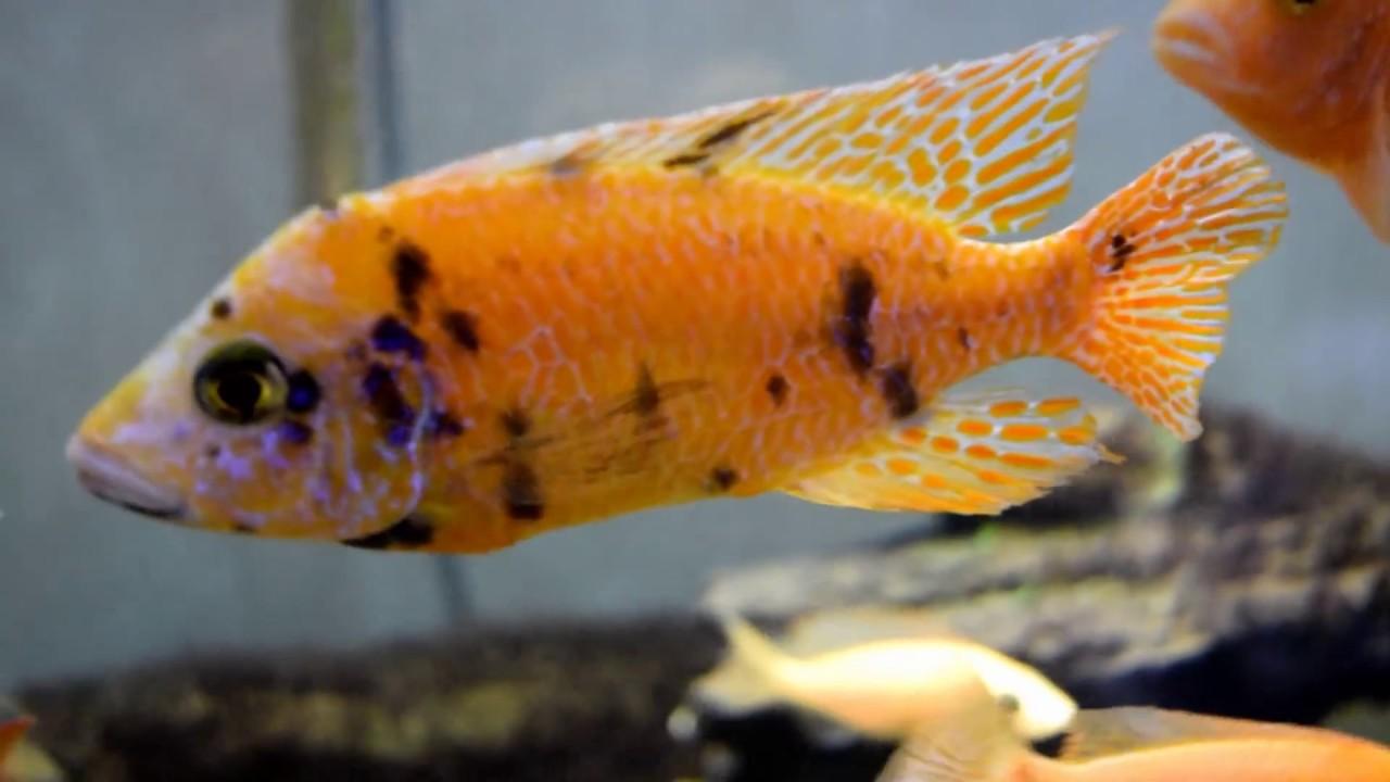 Dragon Blood Peacock Cichlid All Male Dragon...