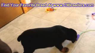 Doberman Pinscher, Puppies For Sale, In, Bellevue, Washington, Wa, Yakima, Kitsap, Thurston, Clark,