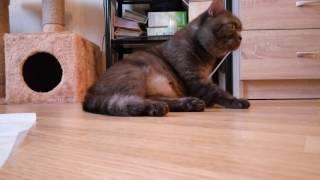 Британская кошка готовится к родам, схватки