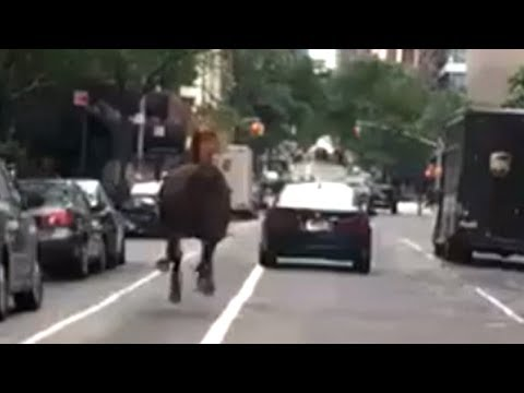 Loose HORSE IN NYC Runs Toward midtown TRAFFIC