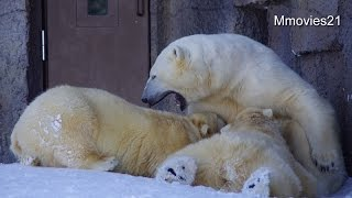 "Polar Bear ""Pororo""&""Maruru"" are twin cubs.(Female/1) Lara in nursi..."