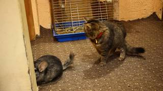 Little Funny Kitten Play with chinchilla at home