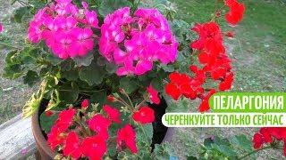 САМОЕ ВРЕМЯ ЧЕРЕНКОВАТЬ ПЕЛАРГОНИЮ. Мои цветы. Мой опыт.