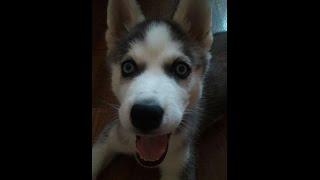 Сибирский Хаски, и все о породе собак. Введение и собаковедение.