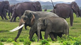 An Elegant tusker shows-off his masculinity and elegancy in Sri Lanka