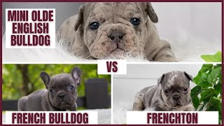 Which Breed Should I Choose? French Bulldog, Frenchton, Mini Olde English Bulldog Puppies Difference