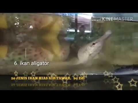26 jenis ikan hias air tawar - YouTube