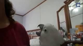 Попугайка