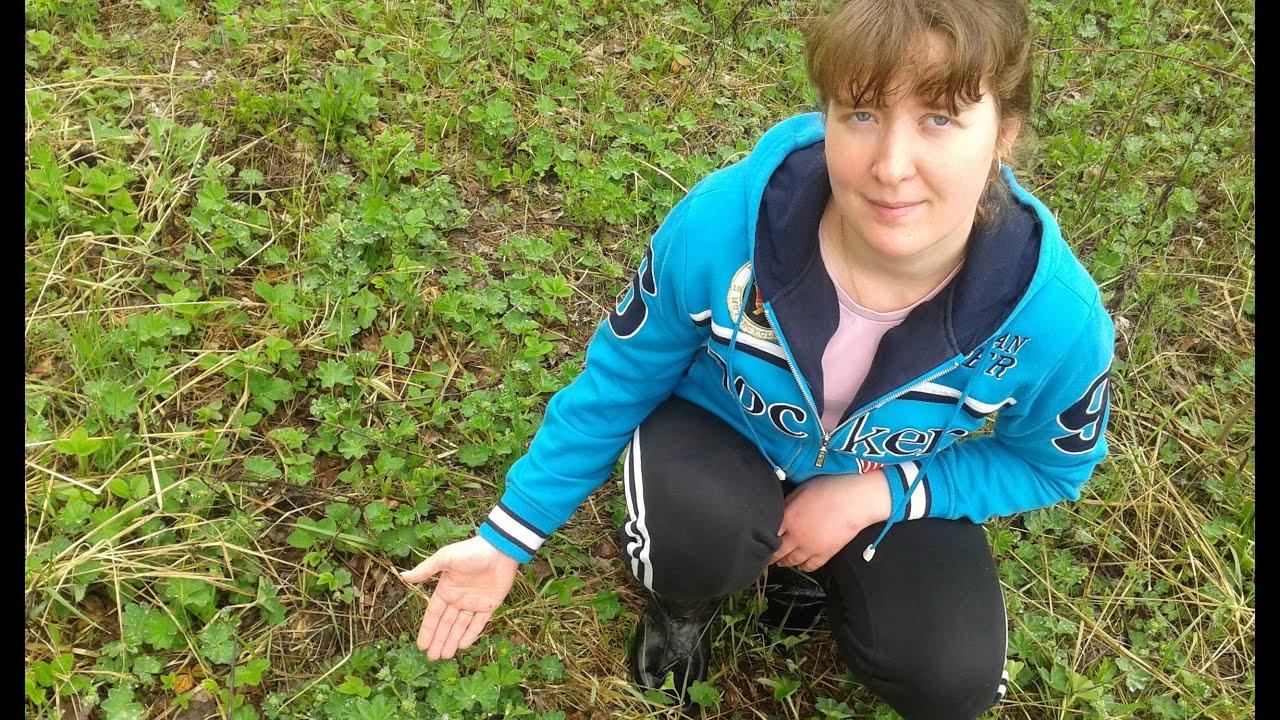 манжетка трава фото
