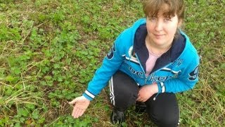 видео Растение вероника: фото, картинки, выращивание, виды, лекарственные свойства
