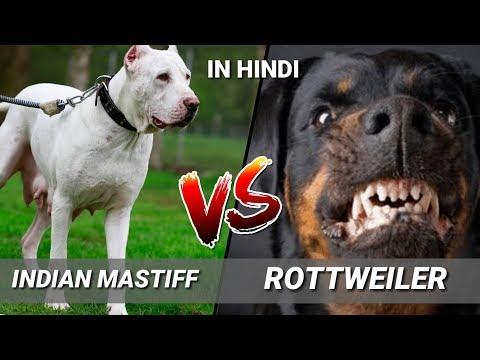 Indian Mastiff Vs Rottweiler / in Hindi / Dog Comparison /Dog Vs Dog / Indian mastiff vs Rottweiler