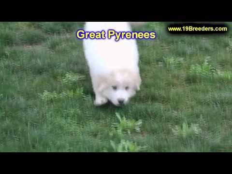 Great Pyrenees, Puppies, For, Sale, In,Omaha ,Nebraska, NE,Lincoln, Bellevue, Grand Island