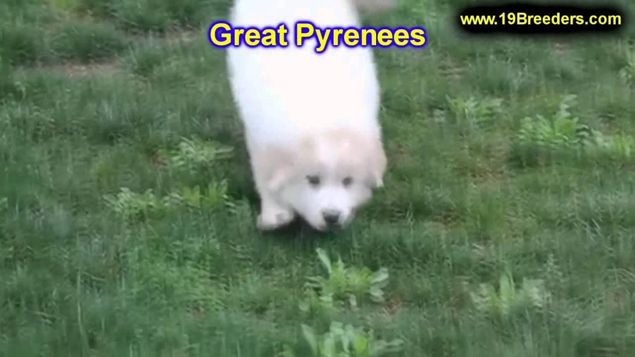 Great Pyrenees Puppies For Sale Inomaha Nebraska Nelincoln