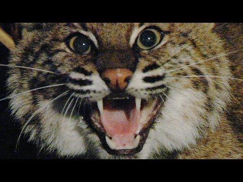 Aggressive Bobcat 01