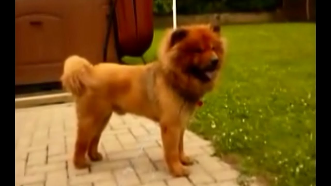 Lion Style Grooming For Dogs And Cats Youtube