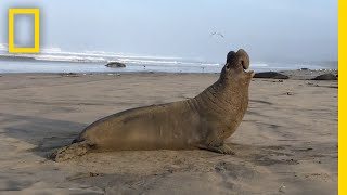 New Discovery  These Seals Can Recognize Each Other's 'Voices' | National Geographic