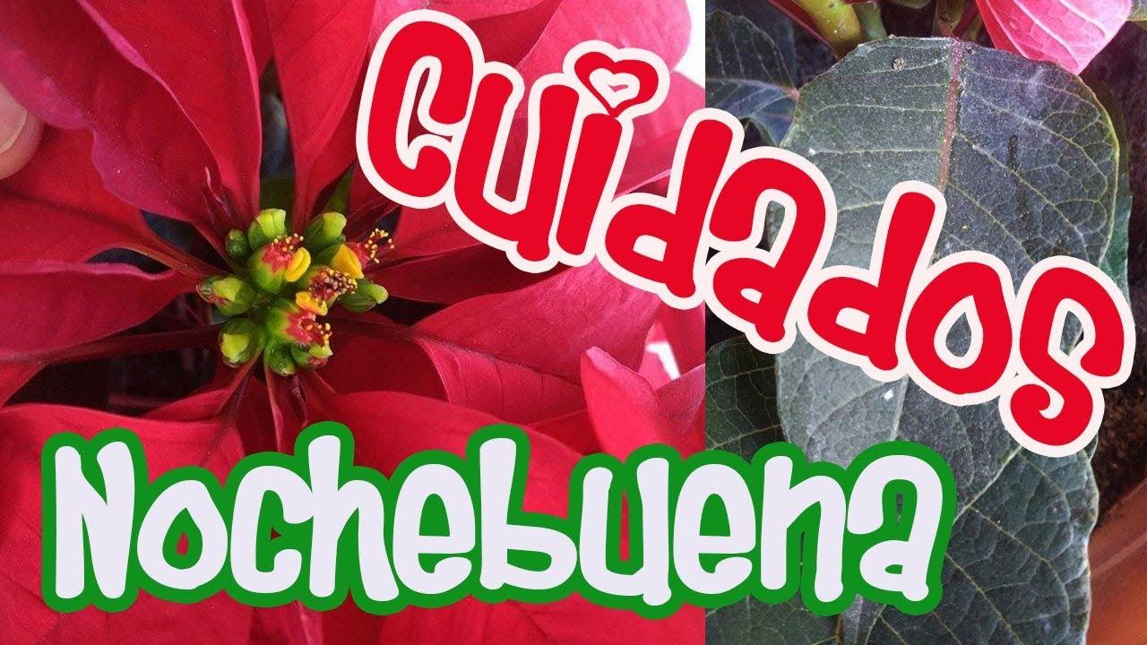 Cuidados nochebuena flor de pascua flor de navidad - Flor de pascua cuidados ...