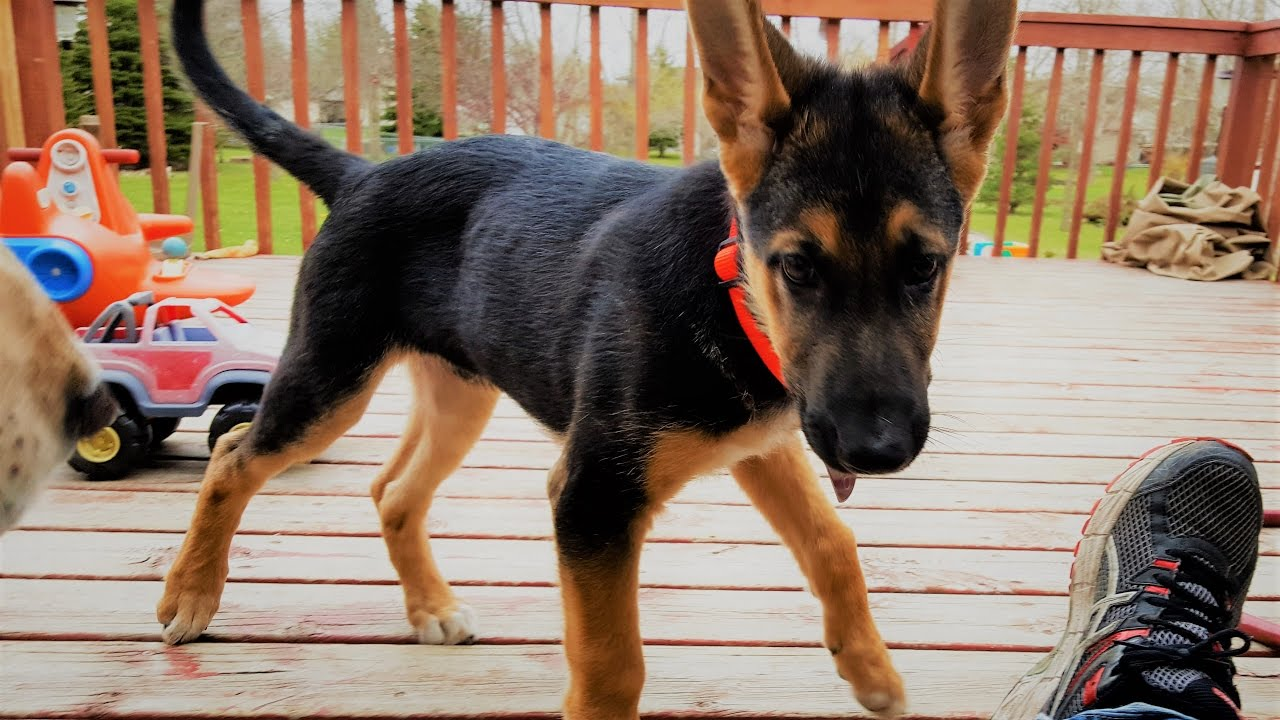 German Shepherd Puppy Adopted By My Daughter Family Vlog Spring