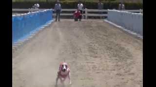 2014/5/18開催のルアーコーシング大会です。 ウィペット15頭出走中アコ...