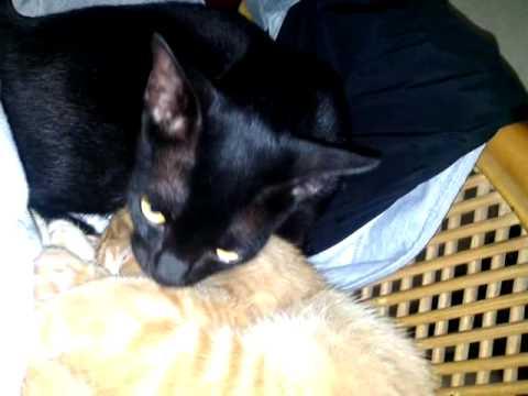 HOT Mandi kucing