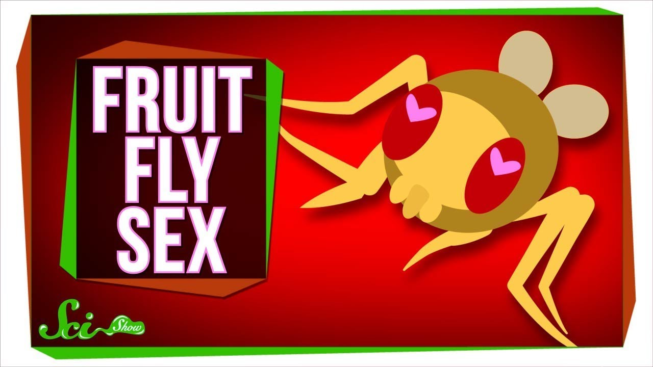 New Insights Into What Fruit Fly Sex Is Like - Youtube-8605