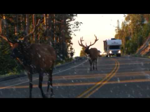 Giant Yellowstone Elk Walk By