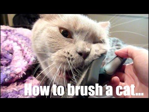 How to Brush a Cat | British Shorthair Cats | Zeus and Hera