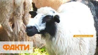 Костер сыр и развлечения   как на Закарпатье овчаров на полонины провожали