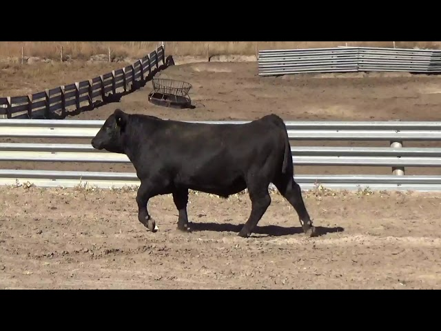 Connealy Angus Lot 155