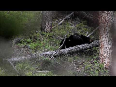 Black Bear and Cubs at Yellowstone