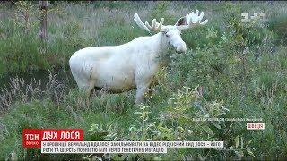 В Швеції помітили лося з незвичним кольором шерсті та рогів