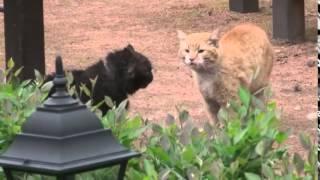 """Драка котов """"джентльмены удачи"""""""