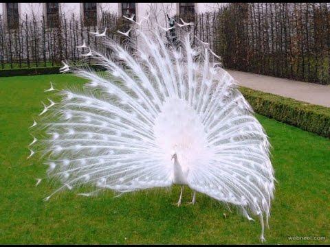 पांढरा मोर | सफेद मोर { White Peacock} महाराष्ट्
