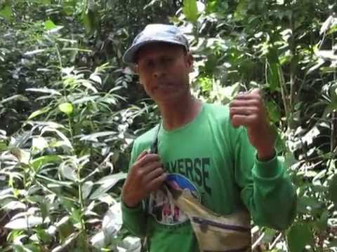 Bleeding Heart Dove Philippine Birds Sibuyan Island