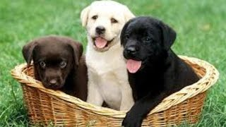 Cute Puppies Doing Funny Things  :cute Puppies Vs. Stairs Video Compilation