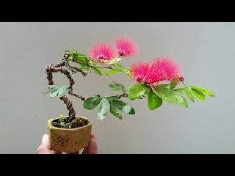 Albizia Julibrissin Mimosa Bonsai Youtube