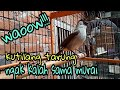 Burung Kutilang Tarung Bongkar Isian  Mp3 - Mp4 Download